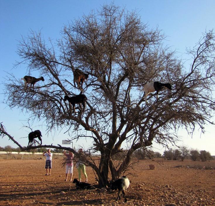Τα δέντρα με τις… κατσίκες του Μαρόκου