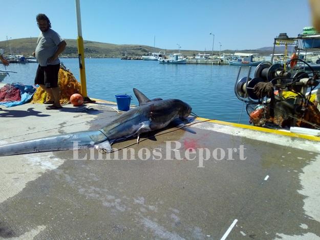 Στα δίχτυα ψαρά ένας καρχαρίας 200 κιλών στη Λήμνο