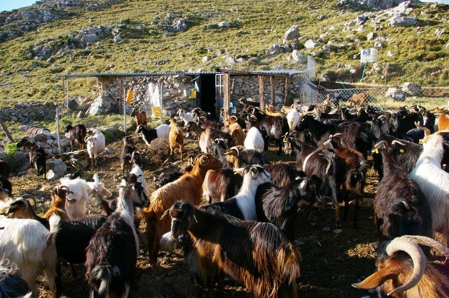Vavel.gr | 10 ευρώ την ημέρα δίνει ο Δήμος Χίου αν φιλοξενήσετε μια αδέσποτη κατσίκα